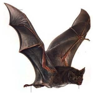 bat for moraine