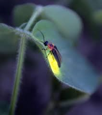 firefly at dark for McConnells mill for June