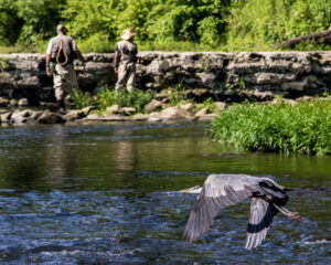 great-blue-heron-neshannock-creek